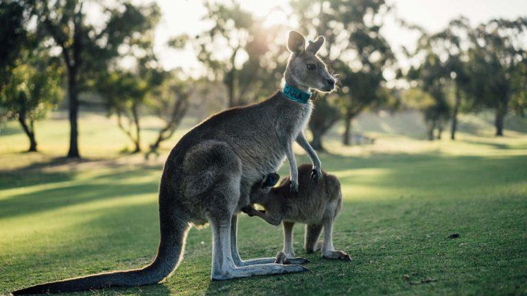 Aussie pelo sedoso